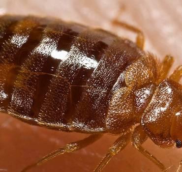 Photo d'une punaise de lit nuisible sur la peau d'un homme