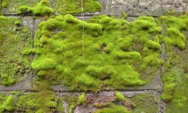 Mousse sur un mur pour le démoussage de murs et toitures