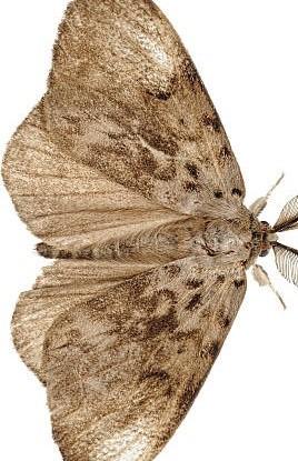 Photo macro d'une mite mâle adulte