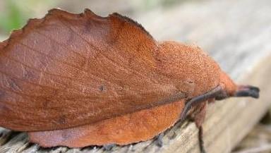 Evolution de la chenille processionnaire du chêne