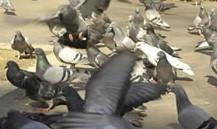 Photo de pigeons en vol à Annecy.
